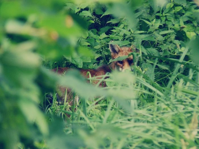 Beauty In Nature Branch Day Fox Fragility Freshness Green Green Color Growth Moment Nature Non-urban Scene Outdoors Park Wildlife Plant Predator Scenics Selective Focus Single Animal Suprised Tranquility Wild Animal Wild Nature