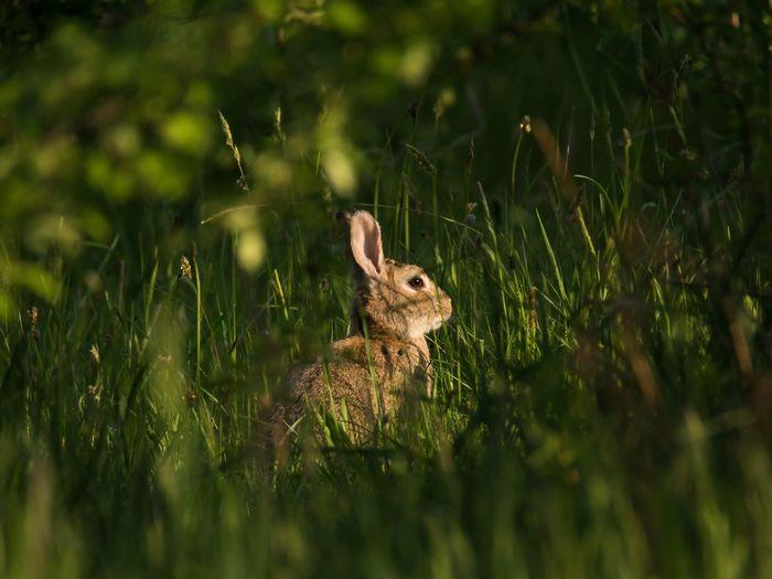 Wild Rabbit Sunset_collection Wild Rabbits Rabbit Animals Animals In The Wild Wildkaninchen Wildlife Wildlife & Nature Wildlife Photography Hallo World EyeEm Nature Lover EyeEm Gallery
