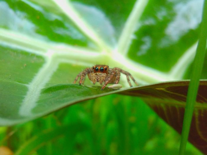 Green Color Leaf Insect One Animal Nature Plant Animal Themes Close-up No People Day Animals In The Wild Beauty In Nature Outdoors Jumping Spider