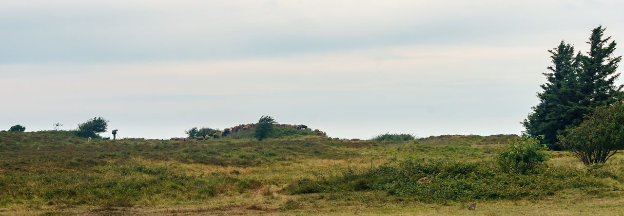 The lonely Shepherd Heath Morsum-Kliff Sylt, Germany Day Grass Landscape Nature Outdoors Sheep Shepherd