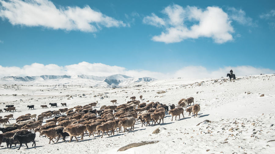 Nomad herding his livestock through the snow in the west of Mongolia Mongolia Animal Animal Themes Beauty In Nature Cloud - Sky Day Domestic Domestic Animals Environment Group Of Animals Herbivorous Herd Herd Animal Land Livestock Mammal Nature Nomadiclife Nomads Outdoors Pets Sky Snow Snowcapped Mountain Vertebrate
