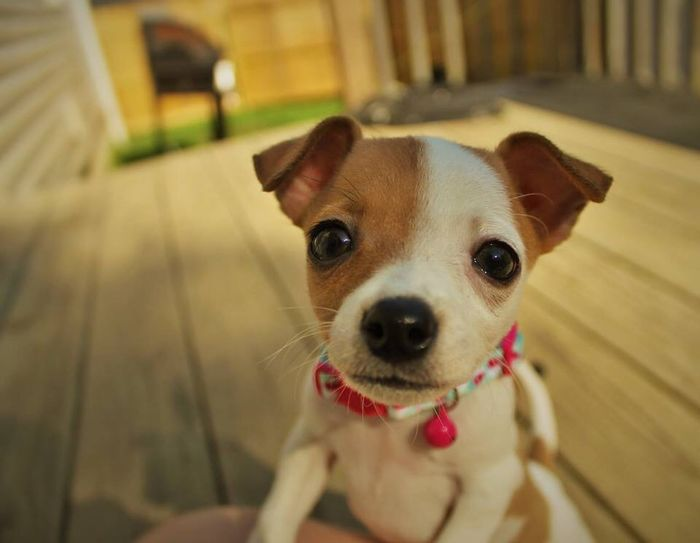 Dog Pets Looking At Camera Close-up Outdoors Chihuahua Small Breed Small Dogs Backyard Back Porch