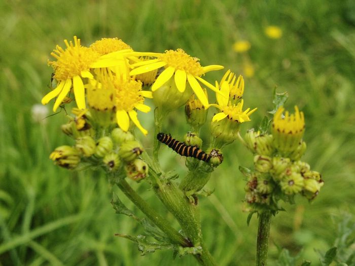 Flower Insect Yellow Wildlife Close-up Focus On Foreground Outdoors Catapiller Ragwort Field Plant Day In Bloom