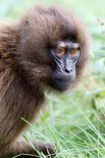 Simien Mountains Animal Themes Animal Wildlife Animals In The Wild Baboon Close-up Day Gelada Baboon Grass Mammal Monkey Nature No People One Animal Outdoors Portrait