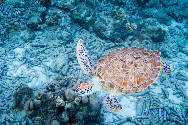 Hawksbill sea turtle Free-diving photography Animal Themes Animal Wildlife Animals In The Wild Beauty In Nature Close-up Coral Day Freediving Hawksbill Nature No People One Animal Outdoors Sea Sea Life Sea Turtle Turtle UnderSea Underwater Water EyeEmNewHere An Eye For Travel Go Higher End Plastic Pollution