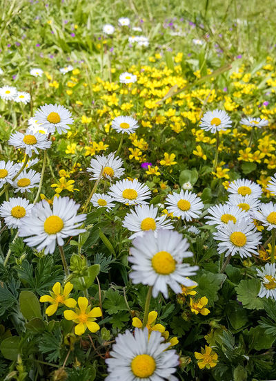 Flowering Plant Flower Freshness Fragility Vulnerability  Plant Beauty In Nature Yellow Growth Inflorescence Petal Flower Head Close-up Nature Day Field White Color No People Daisy Springtime Outdoors Pollen Flowerbed Spring Flowers spring into spring