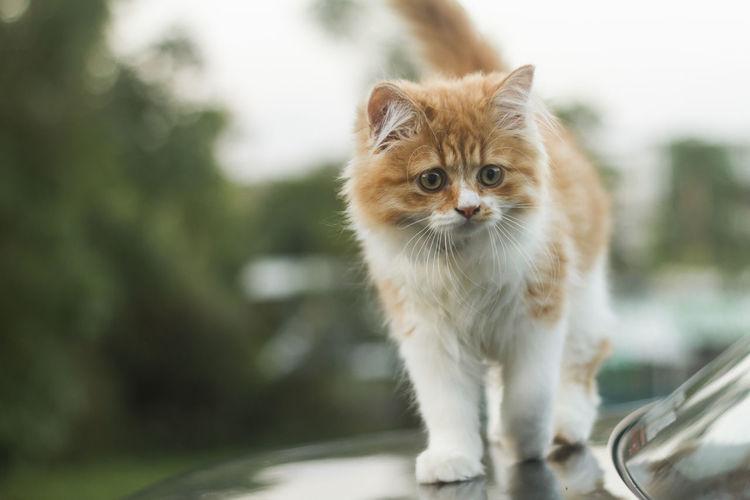 Cat standing on car vehicle hood