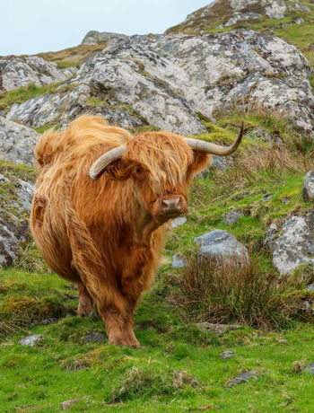 Travel Animal Themes Beauty In Nature Cattle Copper Colored Cow Day Discovery Domestic Animals Domestic Cattle Face Field Grass Hairy  Highland Cattle Hillside Isle Of Iona Livestock Mammal Nature No People One Animal Outdoors Standing Vacation