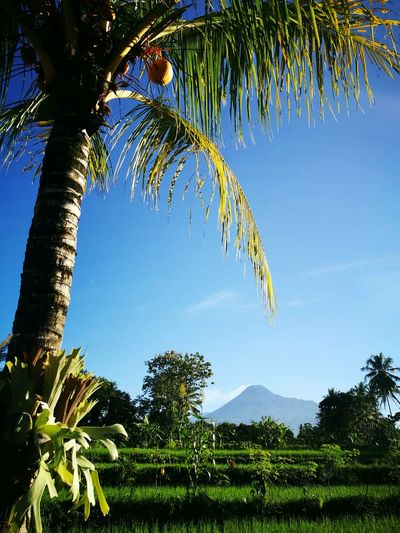 Mt Merapi Palm Tree Beauty In Nature Outdoors Sky Scenics Nature Merapi Yogyakarta merapi mountain , Yogyakarta , Indonesia #mountain #popular enjoy indonesia Merapi In The Morning