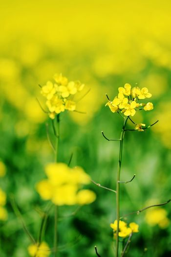 Flower Flowering Plant Plant Yellow Freshness Fragility Vulnerability  Beauty In Nature Close-up Growth Petal Inflorescence Nature Flower Head Focus On Foreground Day No People Outdoors Field Botany