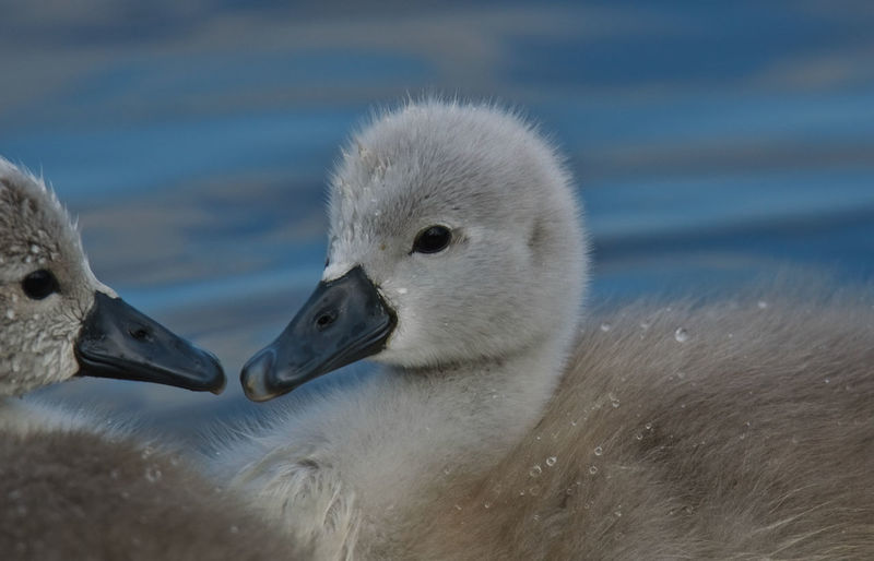 In May Animal Themes Animal Wildlife Animals In The Wild Beak Bird Close-up Cygnet Day Lake Nature No People Outdoors Swan Togetherness Two Animals Water Young Animal Young Bird