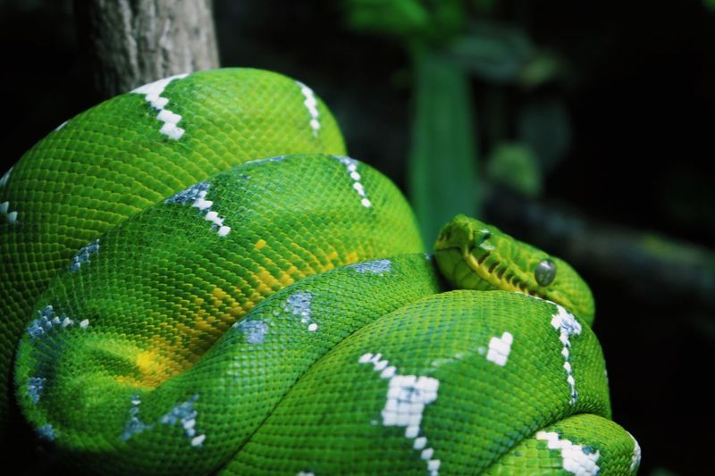 🐍 Animal Themes Animals In The Wild One Animal Close-up Animal Wildlife Green Color Nature Beauty In Nature Reptile EyeEm Ready   EyeEm Ready   EyeEmNewHere AI Now