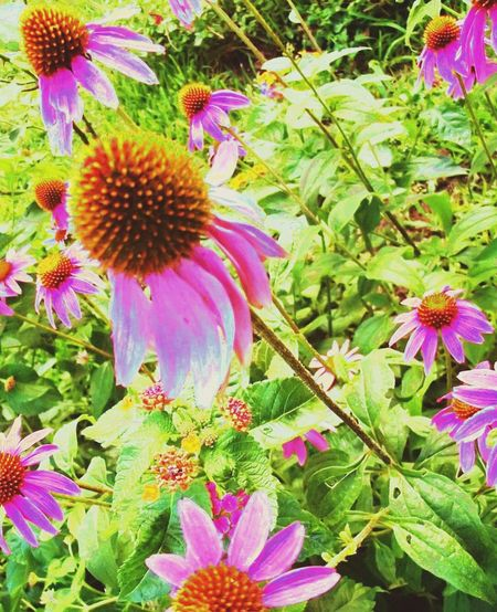 Coneflowers coloring my neighborhood Coneflowers, Beautiful Flower , Nature, Garlandtx AndroidPhotography Androidography In Bloom Artistic Taking Photos