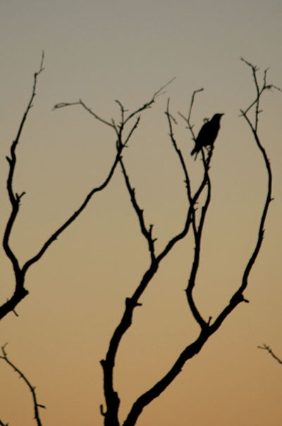 Sunset Silhouettes Days End Sentinel Bird And Branches