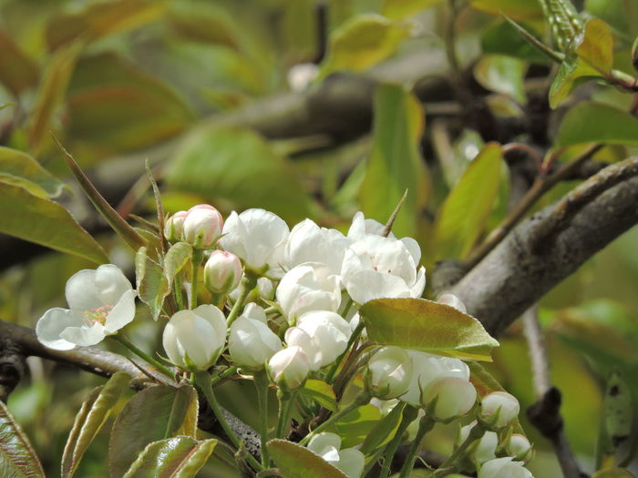 Apple Blossoms Growth Plant Beauty In Nature Plant Part Leaf Close-up Flower Flowering Plant No People Nature Vulnerability  Freshness Fragility Focus On Foreground Green Color Day Branch Selective Focus Tree Outdoors Flower Head Spring