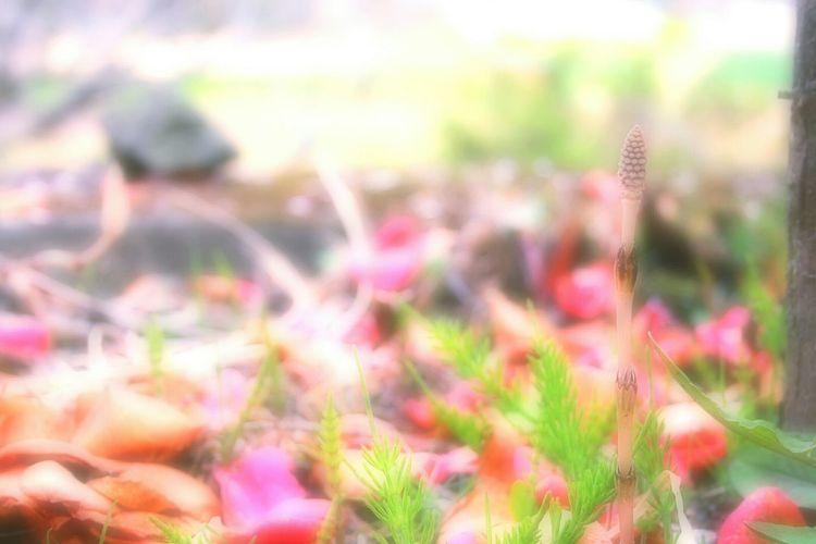 春色。 つくし Relaxing EyeEm Nature Lover Bokeh Spring Colours Bokeheffect Spring Time 春 Showcase April Spring Colors Japan Airy Hazy Days Wildflowers Hazy  Hazy Morning