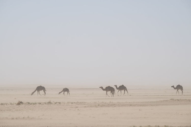 herd Group of wild camels in the Sahara desert during sandstorm Wild Camels Sahara Desert Sandstorm Adventure Tourism Destination Tourist Animal Themes Group Of Animals Animal Mammal Sky Animal Wildlife Domestic Animals Environment Vertebrate Landscape Animals In The Wild Land Nature Domestic Horizon Over Land Field Clear Sky Livestock No People Walking Herbivorous Herd Climate Arid Climate