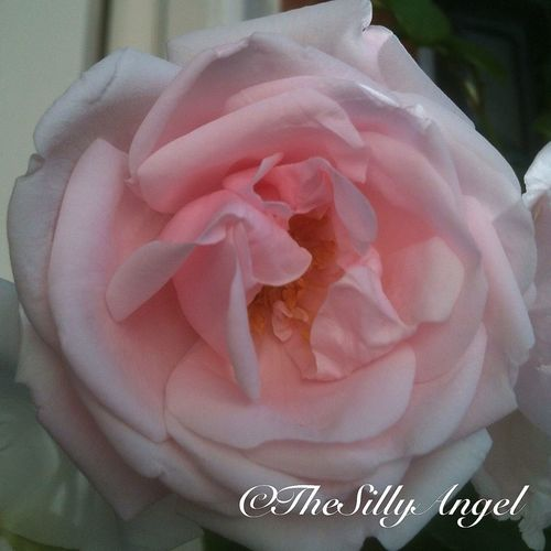No Edits No Filters Pink Rose Flowers, Nature And Beauty TheSillyAngel