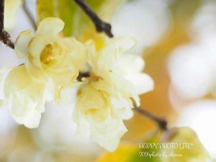2016.01.06. * おはようございます☀ 今日は生憎の曇り空⛅ 旦那は有休でまだお布団~(^_^;) * こちらは実家の蝋梅 我が家のと同じ満月蝋梅 だけど 微妙に色形が違うのは 地域差なのかな? * 実家の花 実家の庭 Gardenflower Gardening Garden_flower Flower Flower_special_ Chimonanthuspraecox Wintersweet Yellow Flower_special_member Loves_flowers_ Loves_garden Olympus Olympusomd Olympus倶楽部 Olympus倶楽部 Om_d E_M1 ファインダー越しの私の世界 写真撮ってる人と繋がりたい 写真好きな人と繋がりたい