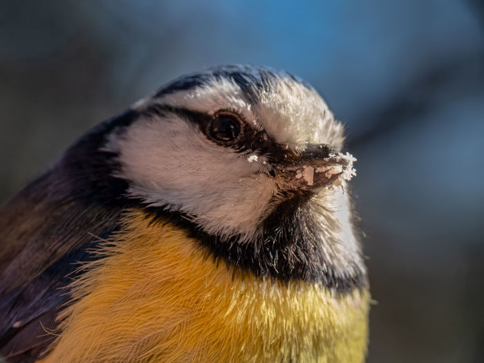 Close-up of a bluetit eating ground almond