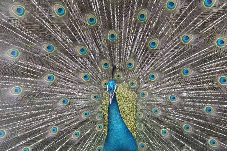 Animal Themes Animal Wildlife Animals In The Wild Beauty In Nature Bird Close-up Day Fanned Out Feather  Full Frame Looking At Camera Multi Colored Nature No People One Animal Outdoors Peacock Peacock Feather Portrait Spread Wings Vanity