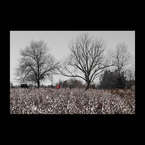 Champ de coton en Caroline du Sud. Cotton Field Cotton Landscape Landscape_Collection Landscape_photography White South Carolina EyeEm Best Shots - Nature EyeEm Nature Lover