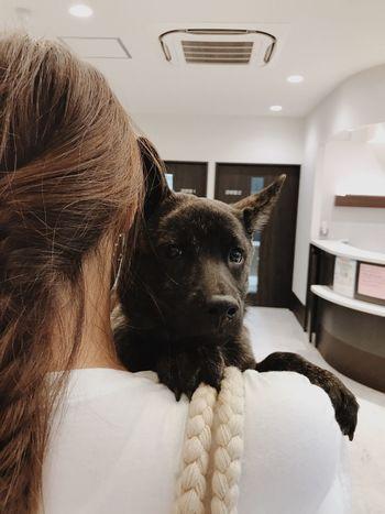 At the hospital. Kaiken Japanese Dog Close-up Portrait Animal Themes Dog Animal Hospital Nervous Dog Nervous