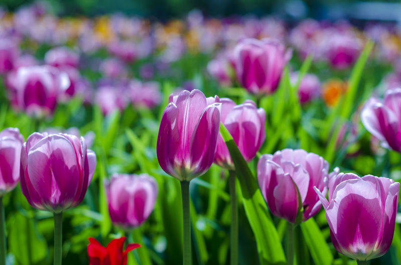 Flowering Plant Flower Plant Beauty In Nature Freshness Fragility Vulnerability  Petal Close-up Pink Color Growth Flower Head Tulip No People Inflorescence Nature Purple Field Day Focus On Foreground Springtime Flowerbed