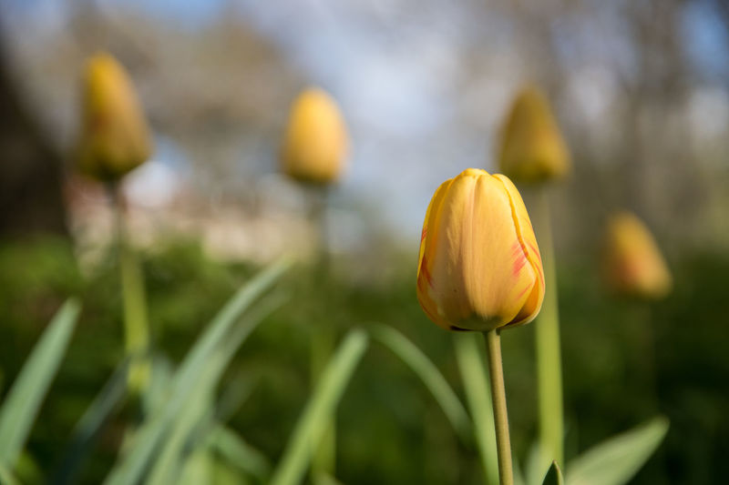 a yellow tulip in the spring Beauty In Nature Blooming Close Up Close-up Day Flower Flower Head Flowery Focus On Foreground Fragility Freshness Growth Nature No People Outdoors Petal Plant Tulip Tulips Yellow