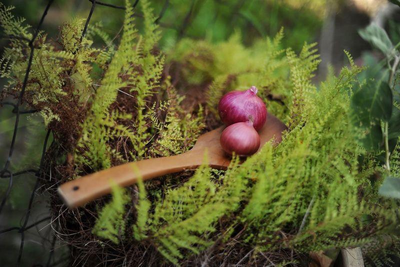 Onions Plant