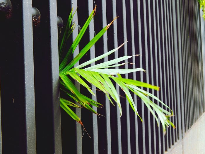 Color Of Technology Battle Of The Cities Monsoonmagic Growth Green Color Plant Leaf Close-up Nature Outdoors Day Palm Leaf Spiked Repetition Full Frame Tranquility Plant Life Wrought Iron Leaves Beauty In Nature Color Of Contrast