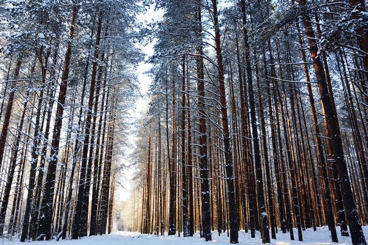 Winter Cold Temperature Snow Tree Nature Day Forest Low Angle View No People Outdoors Beauty In Nature Sky