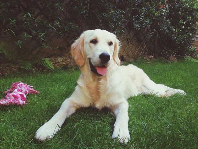 Maggie Dog Golden Retriever