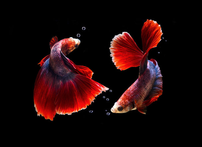 Fish Fight Animal Themes Animal Wildlife Animals In The Wild Beautiful Fish Beauty In Nature Black Background Close-up Day Fighting Fish Nature No People Red Sea Life Studio Shot Swimming UnderSea Underwater Water ปลากัด