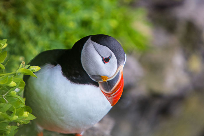 Animal Body Part Beauty In Nature Bird Black Color Close-up Focus On Foreground Iceland Lisand Latrabjak Lundi Nature No People Outdoors Papageitaucher Puffin White White Color