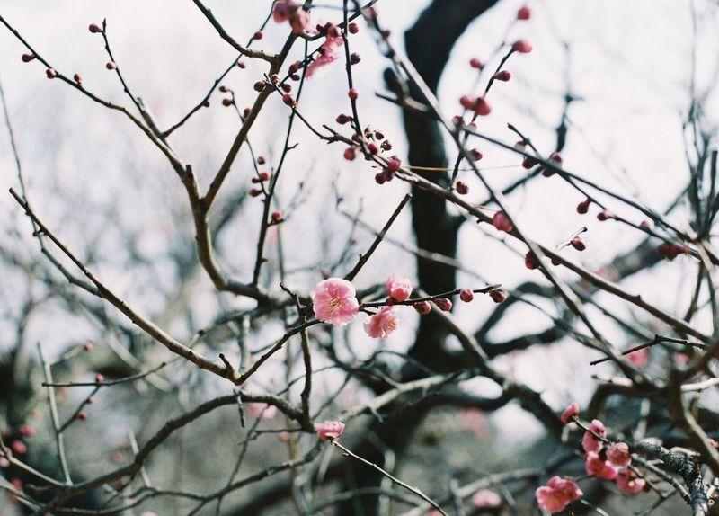 35mm Film NikonFM2 Filmcamera Film Photography Nikon Flower Blossom Plum Blossom Learn & Shoot: Layering