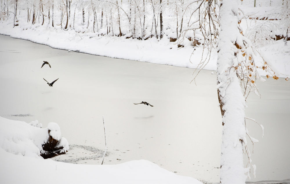 Frozen pond Flying Bird Animals In The Wild Nature Animal Themes Animal Animal Wildlife No People Snow Cold Temperature Outdoors Ducks Flying Ducks In Flight Frozen Lake Frozen Winter Wintertime White Landscape Beauty In Nature Betterlandscapes