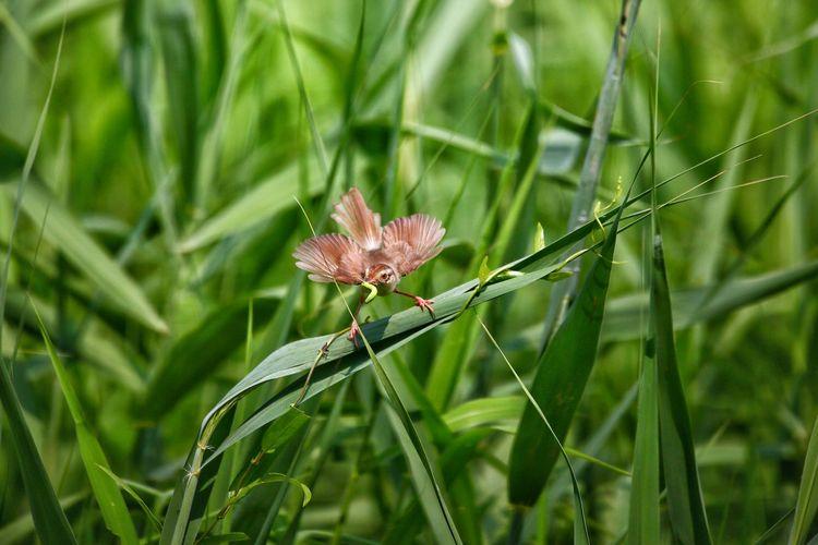 長尾鶯 長尾鶯 Plant