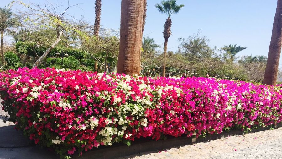 Flower Nature Beauty In Nature Pink Color Plant Growth Outdoors Flower Head Sky Freshness Beauty In Nature Relaxation Secretofbeauty