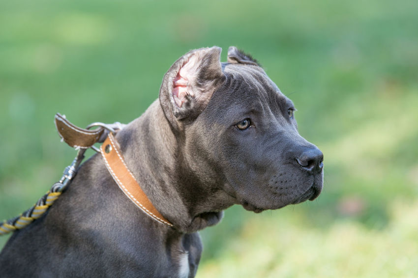 Young Cane Corso dog on the background of a green grass Animal Themes Cane Corso Close-up Day Dog Domestic Animals Mammal No People One Animal Outdoors Pets