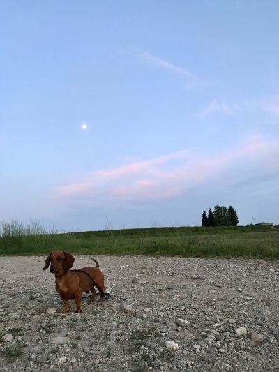 Dog standing in field against sky