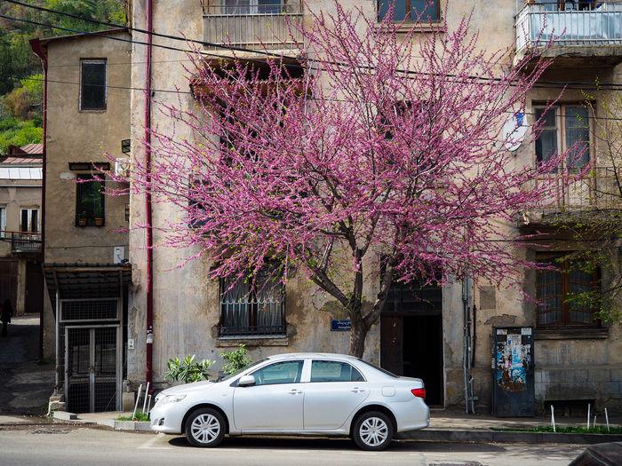 View of pink flowering tree by street against building