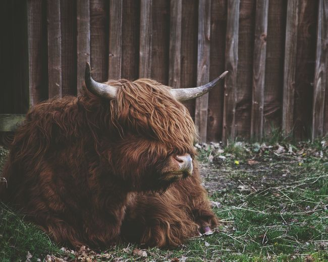 Livestock Highland Cattle Cow Cattle One Animal Domestic Animals No People Outdoors Cattle Farm Scotland Countryside Beauty In Nature