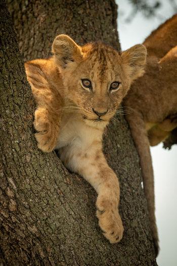 Portrait of lion cub on tree trunk