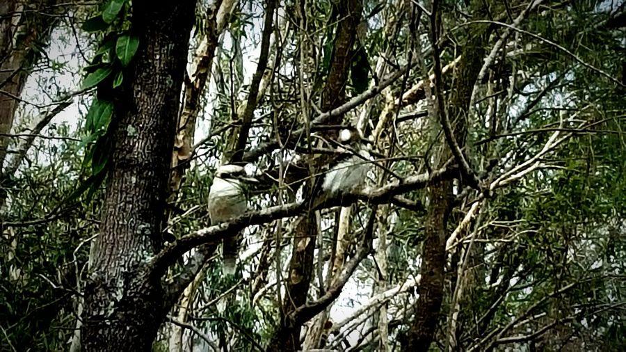 WOW Trees Leaves Birds🐦⛅ Cokooboura Loughing Bird Australia
