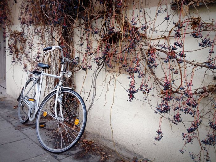 Bicycle Parked By Ivy Hanging On Wall