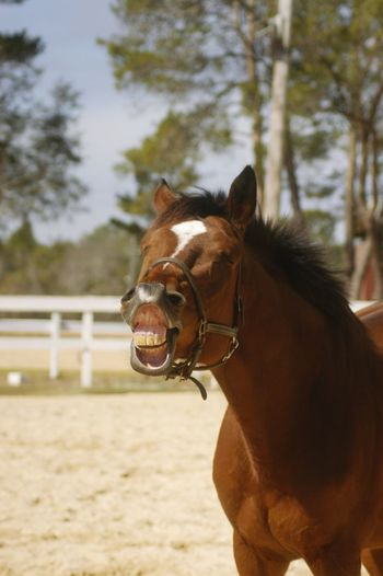 Say Cheese Laughing Horse Amusing Silly Silly Face Crazy Animals