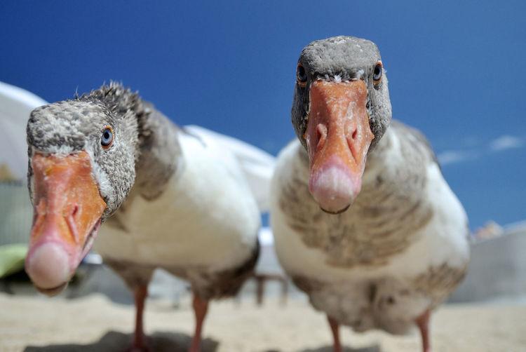 Geese Geese