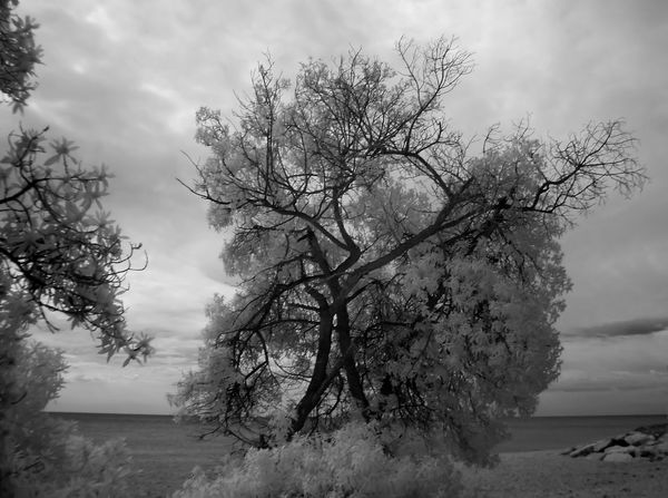 Beauty In Nature Branch Day Growth Infrared Photography Nature Non-urban Scene Scenics Sky Tranquil Scene Tranquility Tree