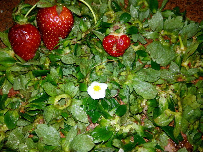 Red Green Color Freshness Fruit Backgrounds Close-up Nature Growth Huaweiphotography Strawberries Plant Red Strawberries No Filter, No Edit, Just Photography White Flower 😍❤️